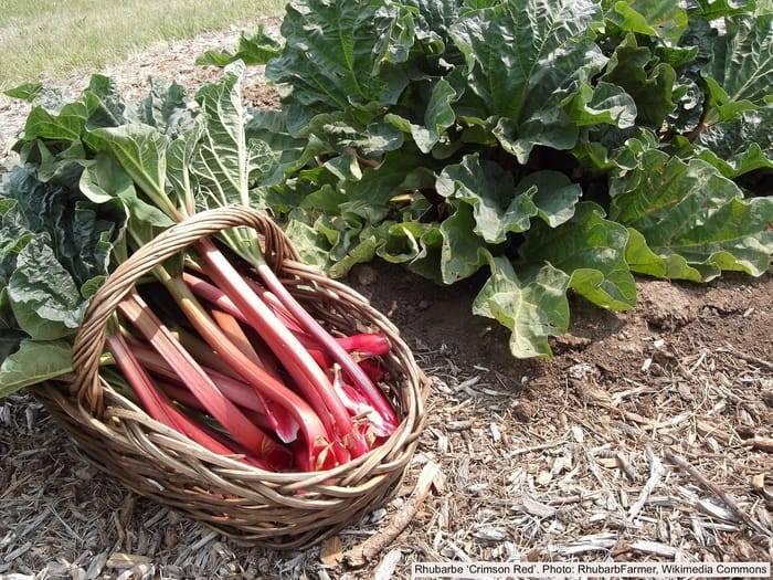 18 Fun Facts About Rhubarb – Laidback Gardener