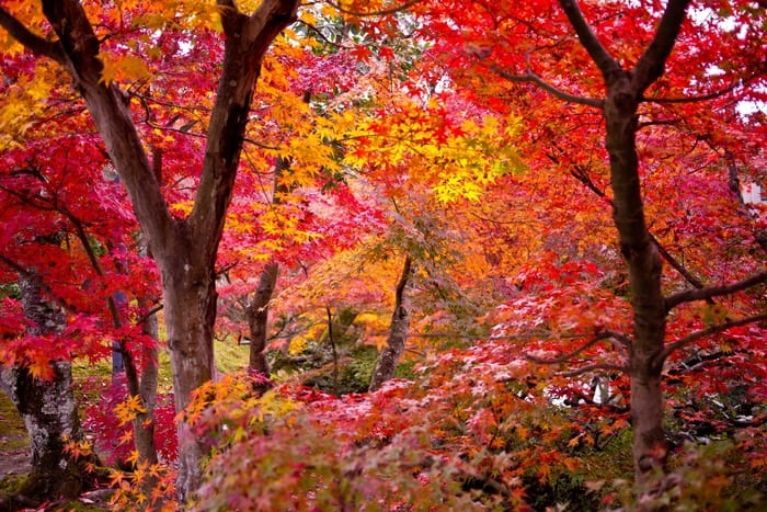 Types of Maple Trees   LoveToKnow