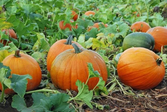 Pumpkin Plant Tips - How to Grow a Pumpkin