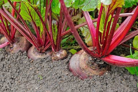 How to Grow Beets - Tips for Planting Beets