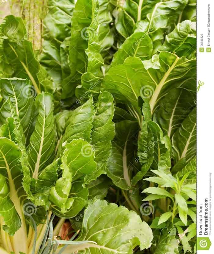 Silverbeet Growing Photos - Free & Royalty-Free Stock Photos from Dreamstime