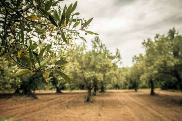 5,641 Olive Orchard Stock Photos, Pictures & Royalty-Free Images - iStock