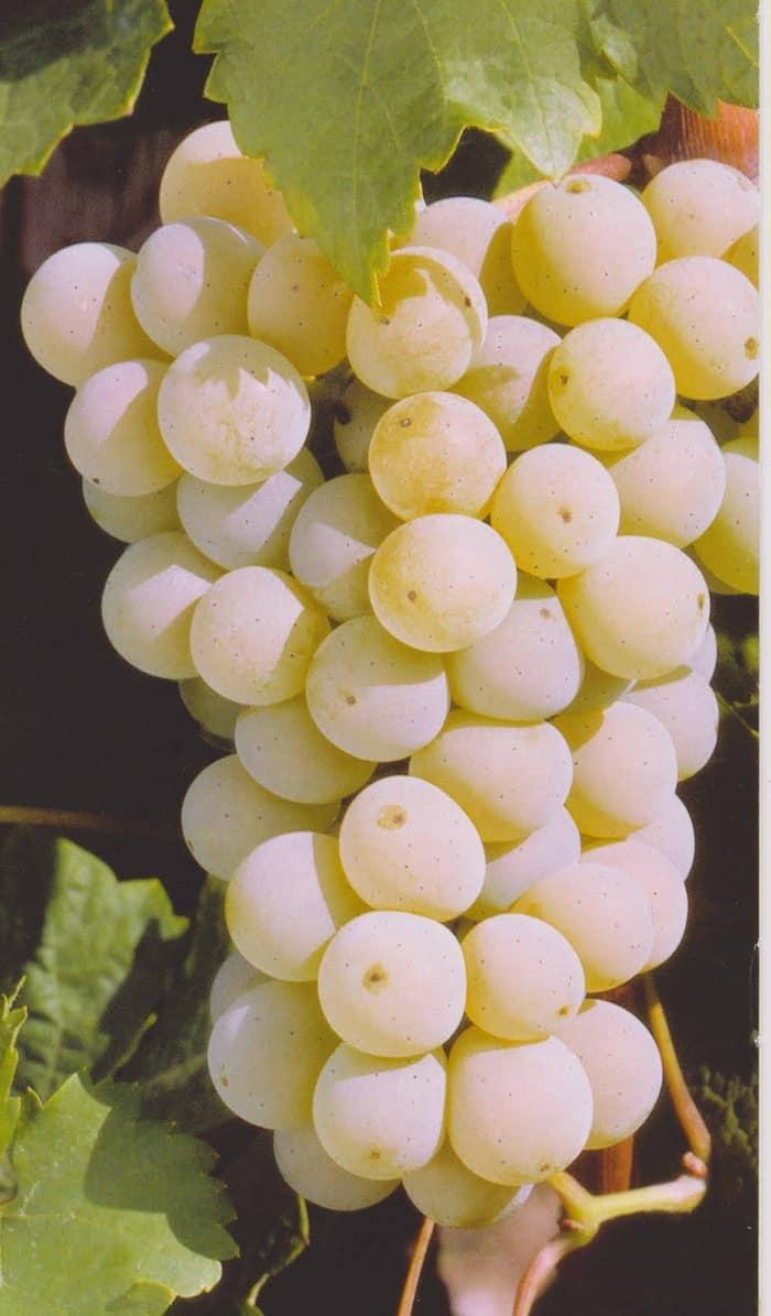 White Grapes | Organic fruit, Grape tree, Fruit seeds