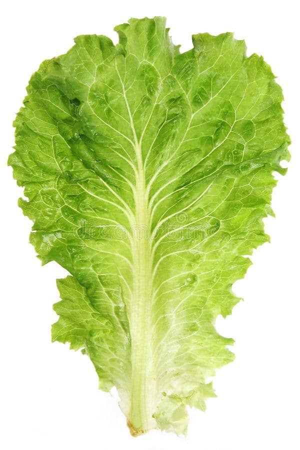 Lettuce leaf. Closeup view isolated on white background , #Ad, #Closeup, # leaf, #Lettuce, #view, #background #ad | Lettuce leaves, Leaves, Lettuce