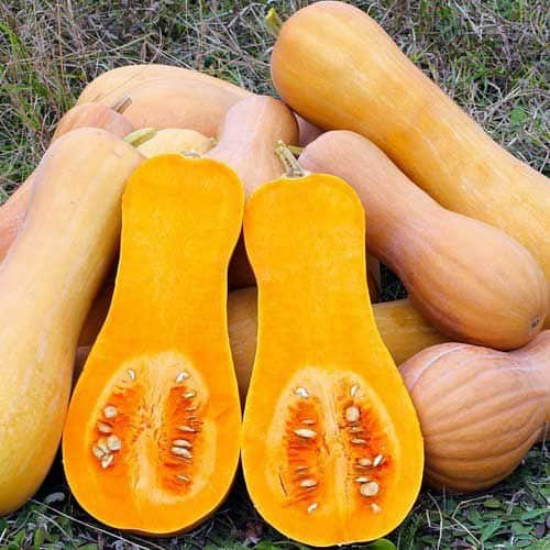 Butternut squash - seed Australian Plants Online