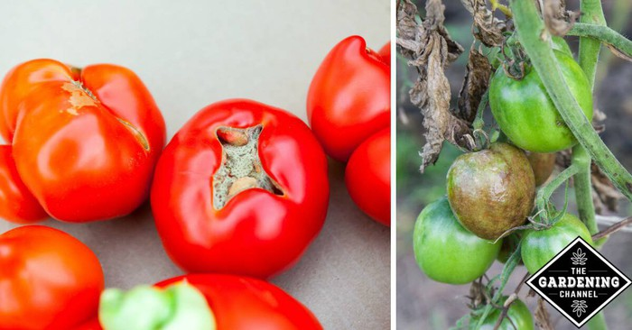 Common Tomato Fruit Problems - Gardening Channel