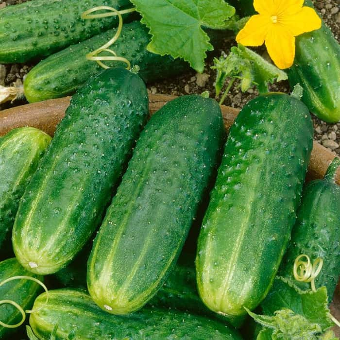 Pic-A-Little Pickling Cucumber Seed | Gurney's Seed & Nursery Co.