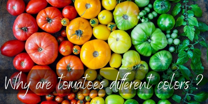 Why Are Tomatoes Different Colors ? Here's The Truth - Foodiosity