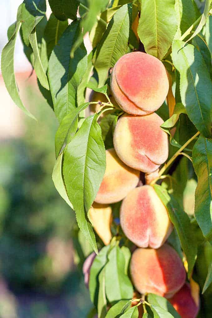 How to Grow and Care for Peach Trees | Gardener's Path