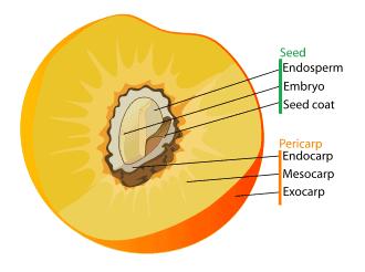 Fruit anatomy - Wikipedia