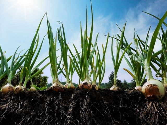 How to Grow Onions - Growing Onions