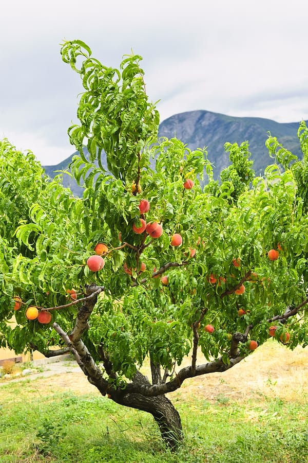 How to Plant, Grow, Prune, and Harvest Peaches and Nectarines - Harvest to  Table